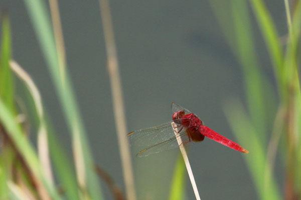 前身赤のショウジョウトンボがいる高鍋湿原