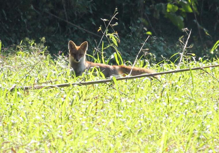 新田原基地滑走路からちょっと離れた西側の草地にリラックスしていたキツネさんに遭遇