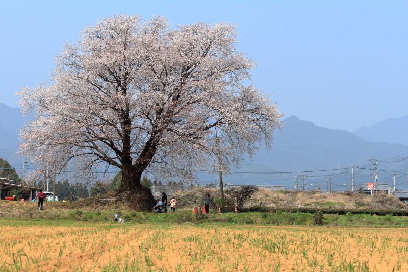 国富町の大坪1本桜は樹齢100~150年で山桜の種類。まさしく畑の中の大将だ。画像