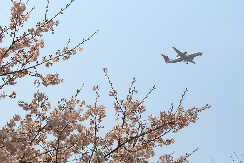 宮崎空港に着陸する飛行機と今が旬の桜を絡めてみた。飛行速度が速いので写し止めるのは難しい。