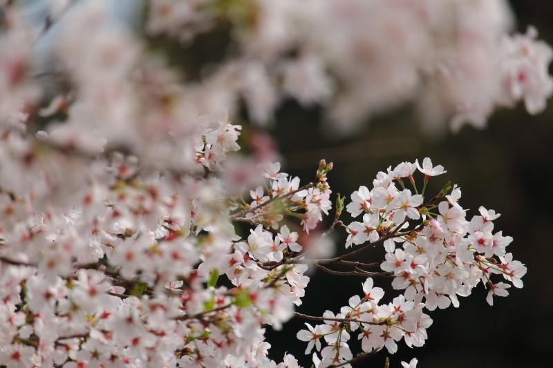 山之口町に咲くさくら