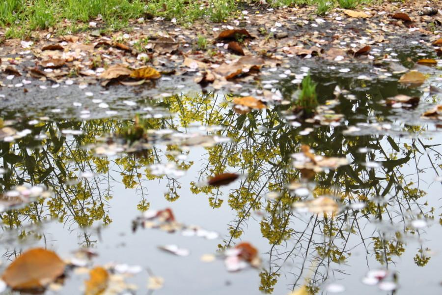 西都原公園で水鏡に映った菜の花の画像