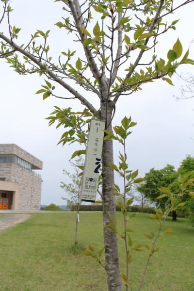 温水洋一氏管理の木