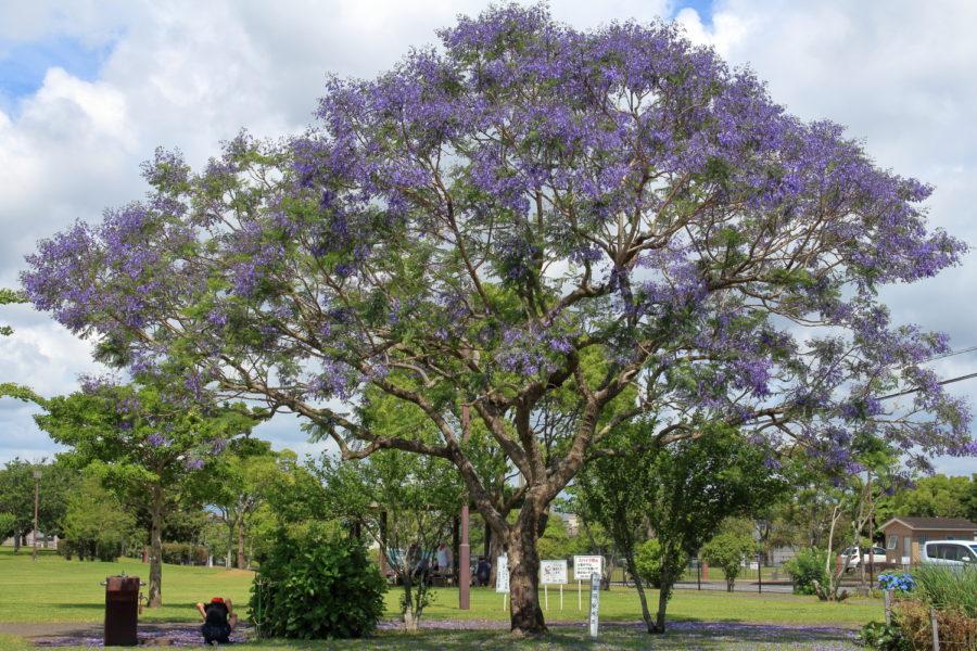 宮崎市内の公園に咲くジャカランダの花