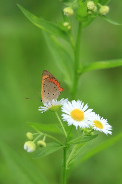 山之口町の農道わきに咲くヒメジョオンにとまるベニシジミ蝶