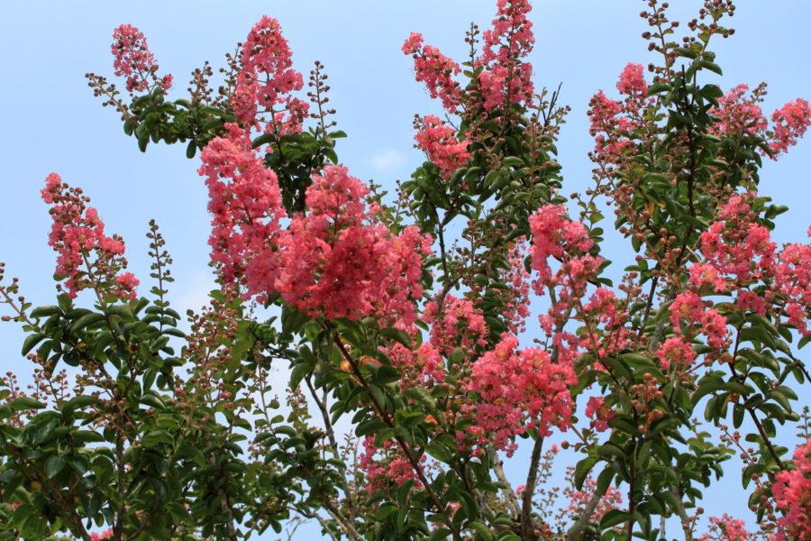 西都原古墳群に咲くさるすべりの花