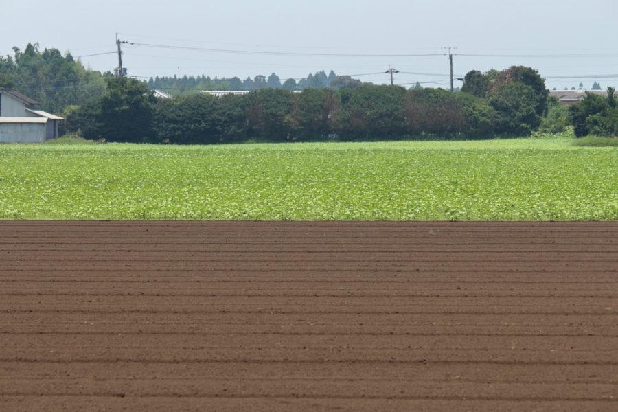 高鍋町のキャベツ畑のひまわり
