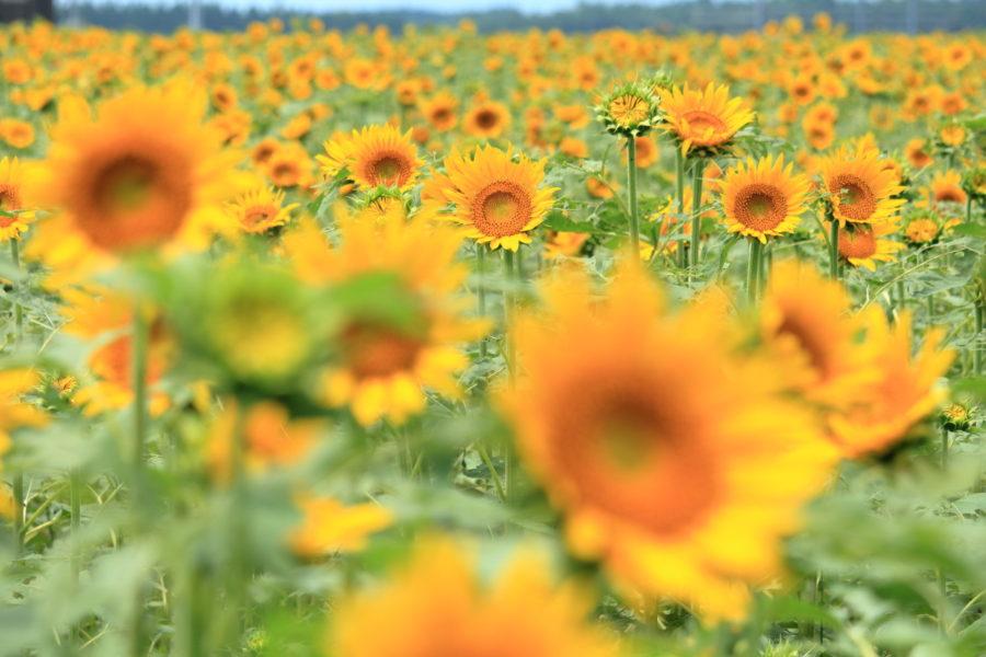 高鍋町キャベツ畑のひまわりはそろそろヒマワリの花が見ごろになって来ました。
