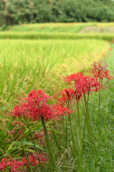 山間の田んぼに実稲穂と彼岸花の競演