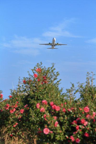 宮崎空港周辺に咲いていた山茶花を前景に撮影