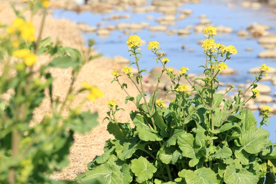 宮崎空港の北西部を流れる川そばのなの花