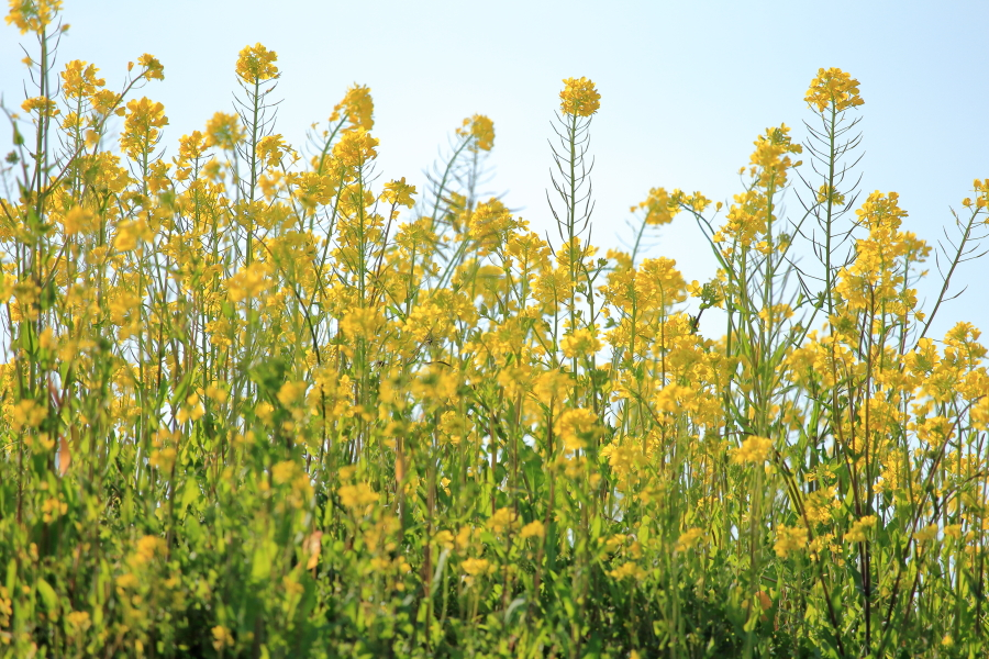 池内町農地の一角に咲いたなの花