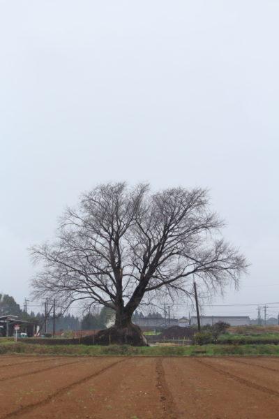国富町大坪地区に咲く一本桜