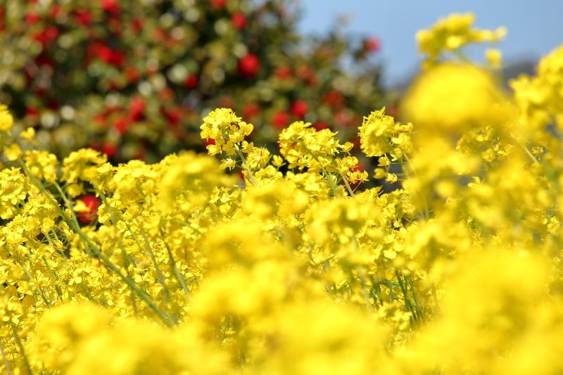 都農ワイナリー南の畑に咲き誇る菜の花