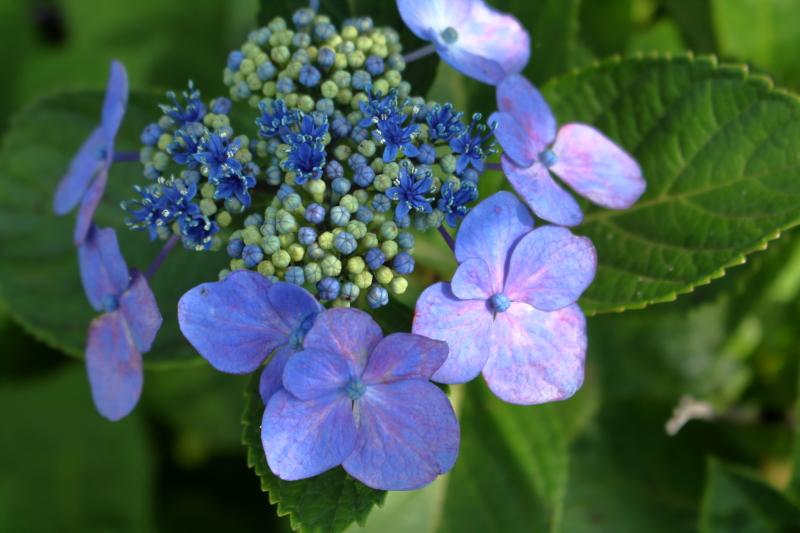 江田原ふれあい広場に咲くアジサイの花