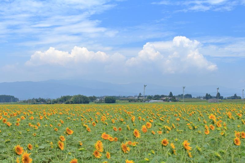 平成28年8月9日のきゃべつ畑のひまわり写真