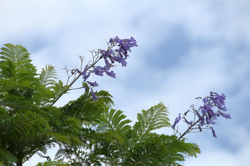 江田原ふれあい広場のジャカランダに季節外れの花が咲いた。