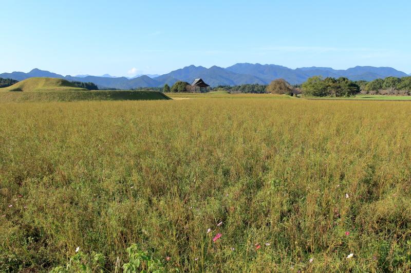西都原公園に咲くコスモスの写真