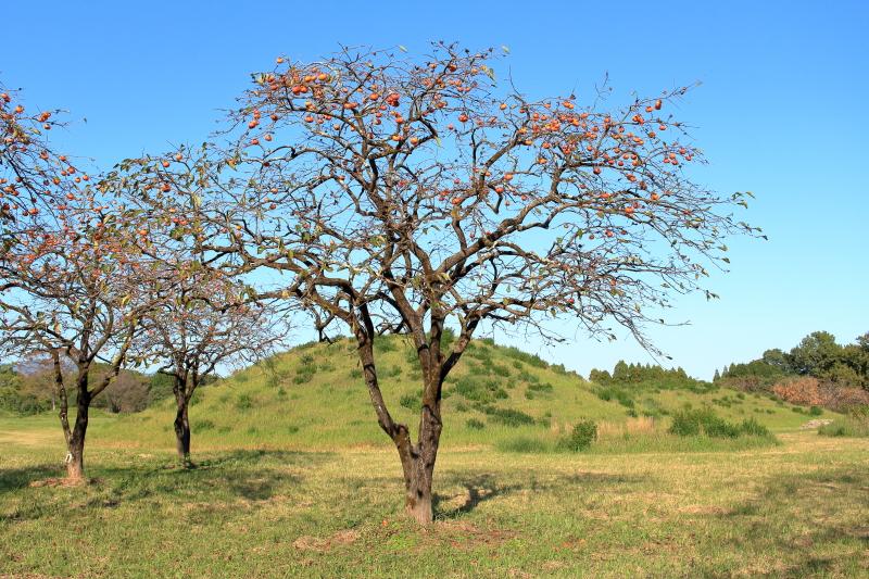 西都原公園に実る柿