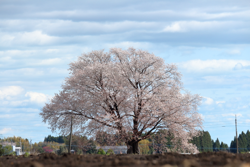 2018年3月22日、宮崎県国富町大坪の一本桜は爆咲き満開