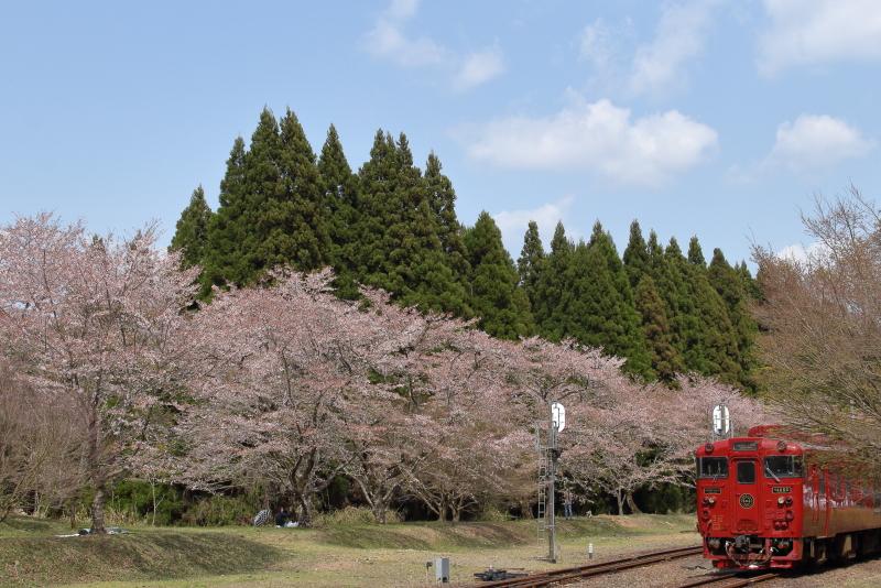 熊本県大畑町、jr大畑駅に咲く桜といさぶろうの写真