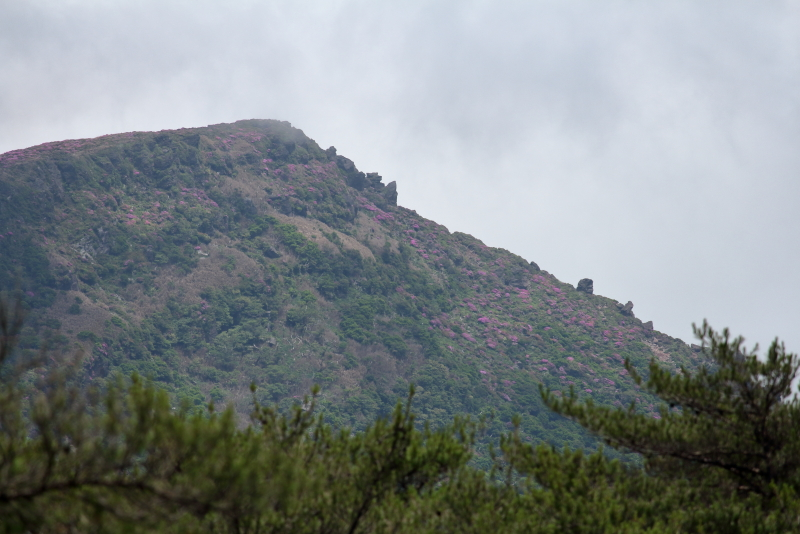 今が時期の韓国岳山頂付近に咲くミヤマキリシマの花たち