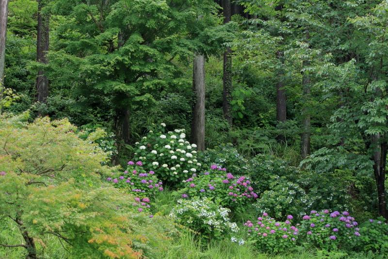 荒平山森林公園に咲くアジサイたちの写真