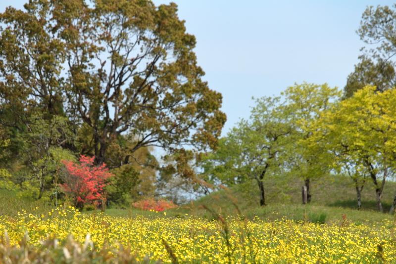 西都原公園に咲くきんぽうげが見ごろ