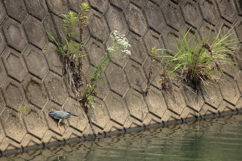 宮崎空港そばを流れる山内川にやって来たサギ
