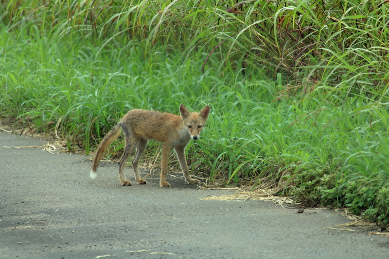 宮崎県新富町新田原基地の南に広がる畑で生きるキツネ。戦闘機訓練がないときにはパトロールでもしているのだろう