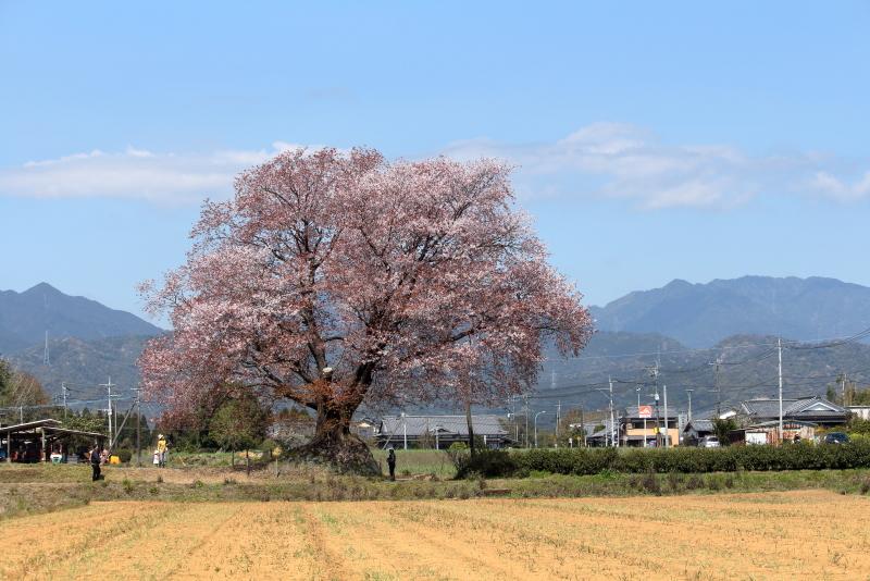 国富町の台地にに咲く大坪の1本桜、今日が絶好調の花付きだ