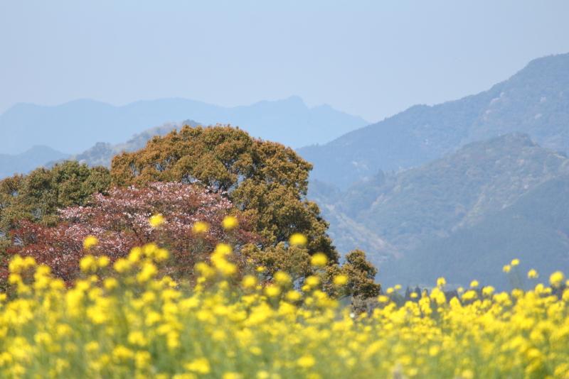 西都市の西都原公園に咲く菜の花は今が絶好調だ